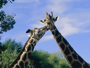 Giraffes Nuzzle One Another by Nick Caloyianis