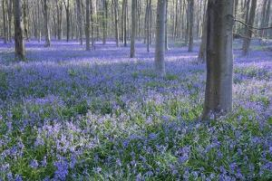 Bluebell Dreams I by Nick Dautlich