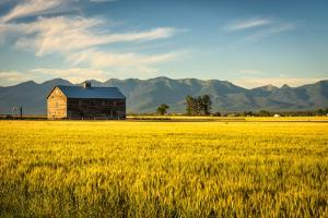 Summer Sunset with an Old Barn and a Rye Field in Rural Montana with Rocky Mountains in the Backgro by Nick Fox