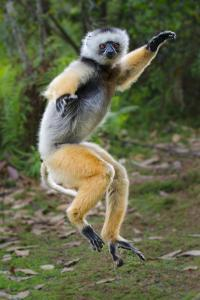 Adult Male Diademed Sifaka (Propithecus Diadema) Between Forest Fragments by Nick Garbutt