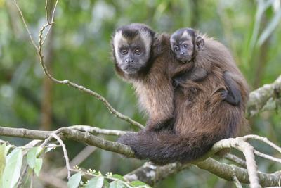 Brown capuchin, Manu Biosphere Reserve, Peru