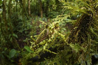 Bush cricket, Manu Biosphere Reserve, Peru
