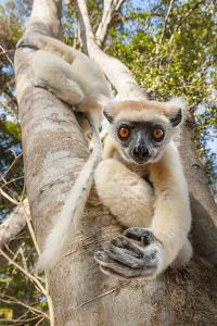Golden-Crowned Sifaka Or Tattersall'S Sifaka (Propithecus Tattersalli) Climbing Down Tree by Nick Garbutt
