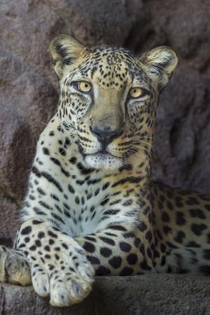 Male Arabian Leopard (Panthera Pardus Nimr) At Arabian Wildlife Centre