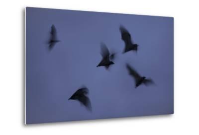 Straw-Coloured Fruit Bats (Eidolon Helvum) Leaving Roost Site at Dusk