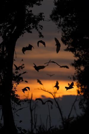 Straw-Coloured Fruit Bats (Eidolon Helvum) Returning To Daytime Roost At Dawn