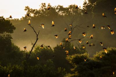 Straw-Coloured Fruit Bats (Eidolon Helvum) Returning To Daytime Roost At Sunrise