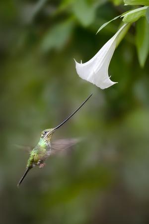 Sword-Billed Hummingbird (Ensifera Ensifera) Feeding At An Angel'S Or Devil'S Trumpet Flower