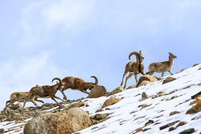Urial sheep herd running across steep barren slopes. Himalayas near Ulley, Ladakh, India