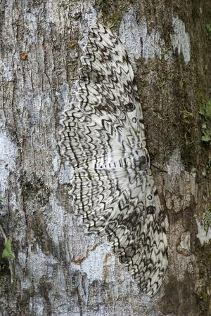 White witch moth camouflaged, Amazonia, Peru