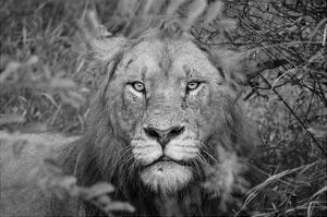 Into the eyes of the lion by Nick Jackson