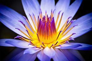 Kew Gardens Waterlily by Nick Jackson