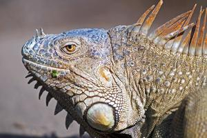 Costa Rica. a Green Iguana. by Nick Laing