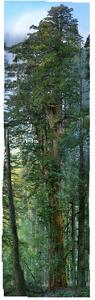 300 Foot Redwood Tree, 84 High Definition Photos Stitched Together for Save the Redwoods League by Nick Nichols