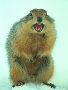 Arctic Ground Squirrel Barring its Teeth, Northwest Territories, Canada by Nick Norman