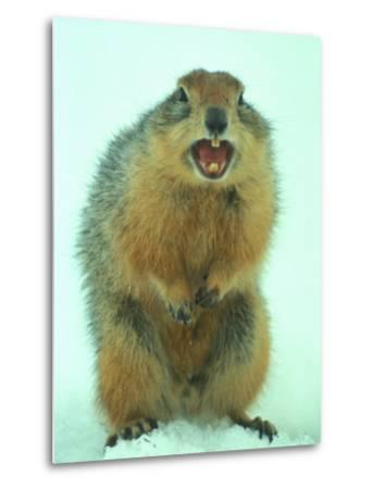 Arctic Ground Squirrel Barring its Teeth, Northwest Territories, Canada
