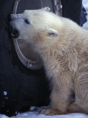 Polar Bear Bites at a Tire
