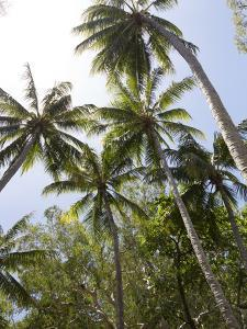 Palm Trees on Beach at Palm Cove, Cairns, North Queensland, Australia, Pacific by Nick Servian