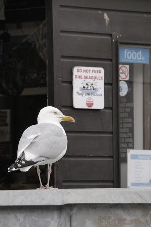 Adult Herring Gull (Larus Argentatus) Standing Near Entrance to Fishmonger's Shop