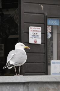 Adult Herring Gull (Larus Argentatus) Standing Near Entrance to Fishmonger's Shop by Nick Upton