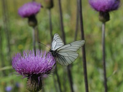 Black Veined White Butterfly (Aporia Crataegi), Pannonic Thistle (Cirsium Pannonicum), Slovenia