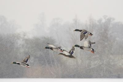 Four Mallard Drakes and a Duck Flying over Frozen Lake in Snowstorm, Wiltshire, England, UK