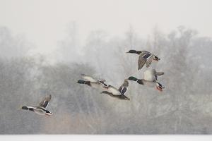 Four Mallard Drakes and a Duck Flying over Frozen Lake in Snowstorm, Wiltshire, England, UK by Nick Upton