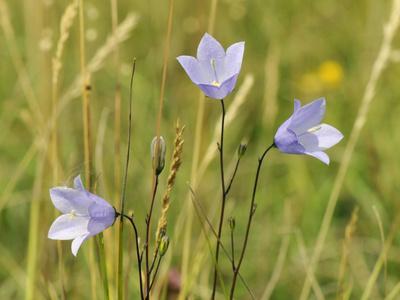 Harebell (Campanula Rotundifolia) Flowering in Chalk Grassland Meadow, Wiltshire, England, UK