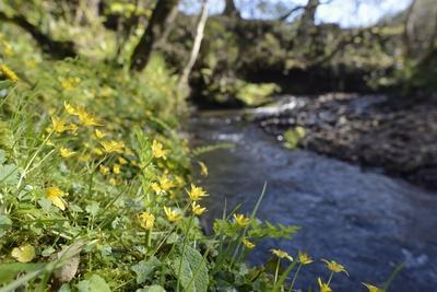 Lesser Celandines (Ranunculus Ficaria) Flowering on a Stream Bank in Woodland