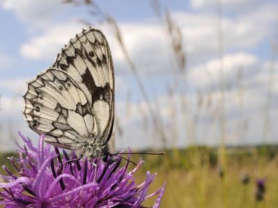 Marbled White Butterfly (Melanargia Galathea)/Greater Knapweed Flower (Centaurea Scabiosa), England