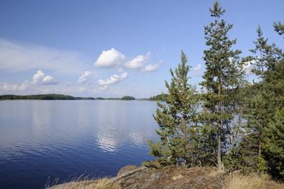 Young Scots Pine Trees (Pinus Sylvestris) Growing Near Rocky Shore of Lake Saimaa