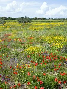 Blossom in a Field, Siena Province, Tuscany, Italy by Nico Tondini
