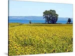 Field of Sunflowers, Lake of Bolsena, Bolsena, Viterbo Province, Latium, Italy by Nico Tondini