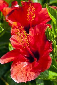 Hibiscus, Tunisia by Nico Tondini