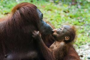 Malaysia, Sarawak, Semenggoh Nature Reserve, Orangutan and Baby by Nico Tondini
