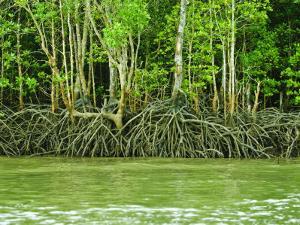 Mangrove Tour, Langkawi Island, Malaysia, Southeast Asia, Asia by Nico Tondini