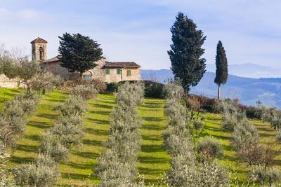 Olive Groves, Cercina, Firenze Province, Firenze, Tuscany, Italy