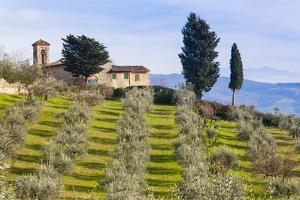 Olive Groves, Cercina, Firenze Province, Firenze, Tuscany, Italy by Nico Tondini