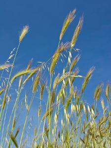 Wheat Field, Siena Province, Tuscany, Italy by Nico Tondini