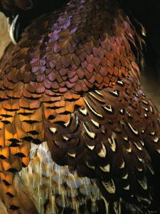 A Pheasant with Colourful Feathers by Nicolas Leser