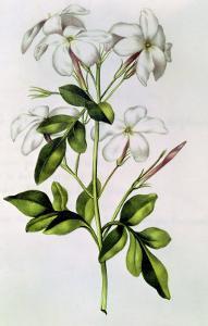 """Jasmine, from """"La Guirlande De Julie,"""" circa 1642 by Nicolas Robert"""