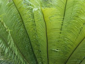 A Close View of the Leaves of a Palm Tree by Nicole Duplaix