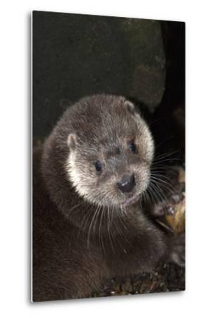 A Eurasian Otter, Lutra Lutra