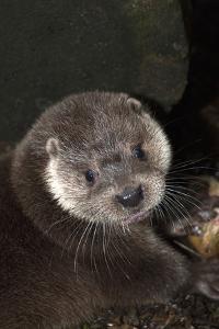A Eurasian Otter, Lutra Lutra by Nicole Duplaix