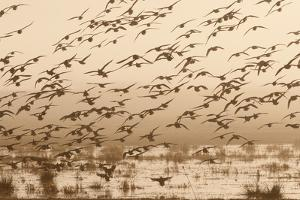 A Flock of Ducks in Flight by Nicole Duplaix