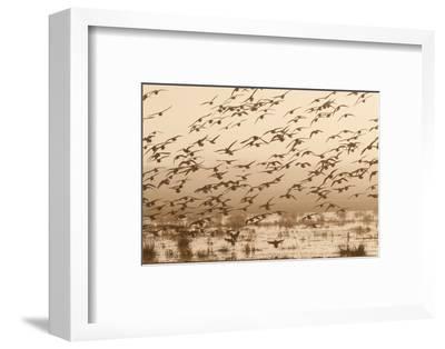 A Flock of Ducks in Flight