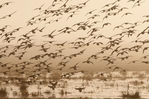 A Flock of Ducks in Flight by Nicole Duplaix