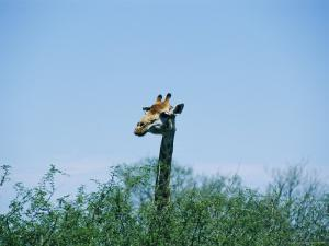 A Giraffe Stands Above the Surrounding Vegetation by Nicole Duplaix