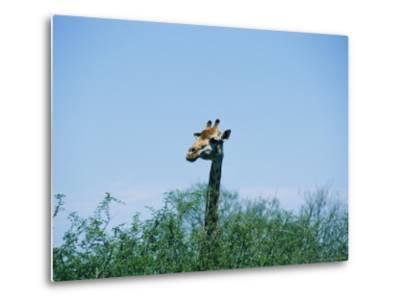 A Giraffe Stands Above the Surrounding Vegetation
