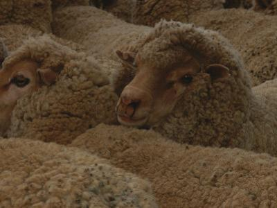 A Group of Sheep Wait to Be Shorn